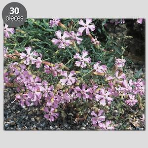 Soapwort (Saponaria sicula intermedia) Puzzle