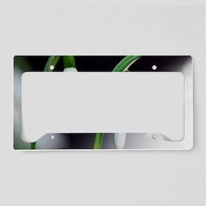 Snowdrop (Galanthus nivalis) License Plate Holder