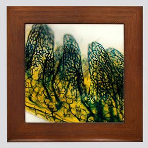 Small intestine, light micrograph Framed Tile