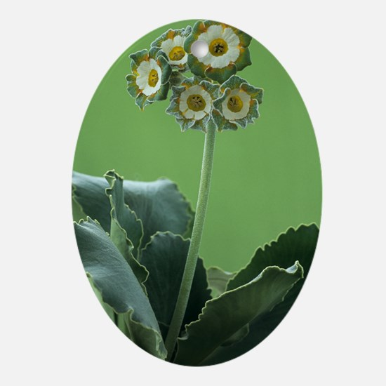 Show auricula 'Greenpeace' flowers Oval Ornament