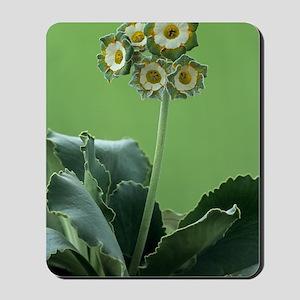 Show auricula 'Greenpeace' flowers Mousepad