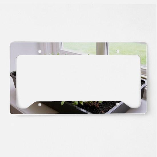 Seedlings of Perpetual Spinac License Plate Holder