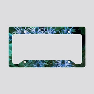 Sea holly (Eryngium x oliveri License Plate Holder