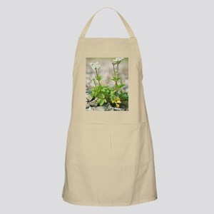 Scotch lovage (Ligusticum scothicum) Apron
