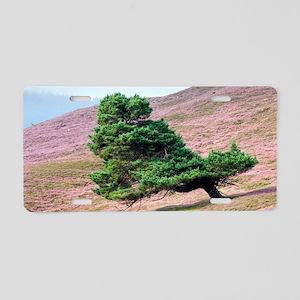 Scots pine tree (Pinus sylv Aluminum License Plate