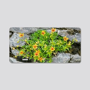 Saxifraga aizoides in flowe Aluminum License Plate