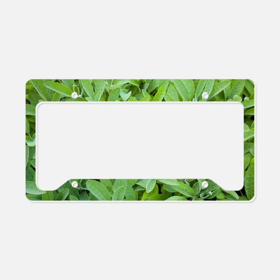 Sage (Salvia sp.) License Plate Holder