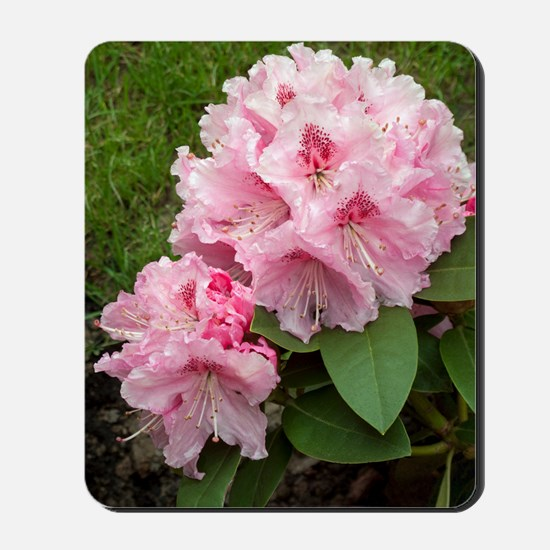 Rhododendron 'Albert Schweitzer' Mousepad