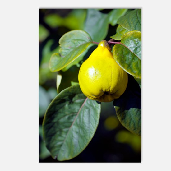 Quince fruit Postcards (Package of 8)
