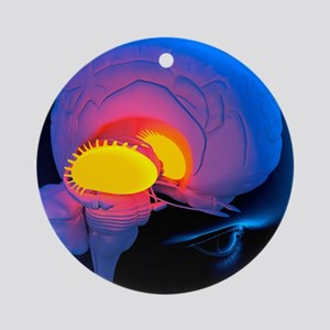 Putamen in the brain, artwork Round Ornament