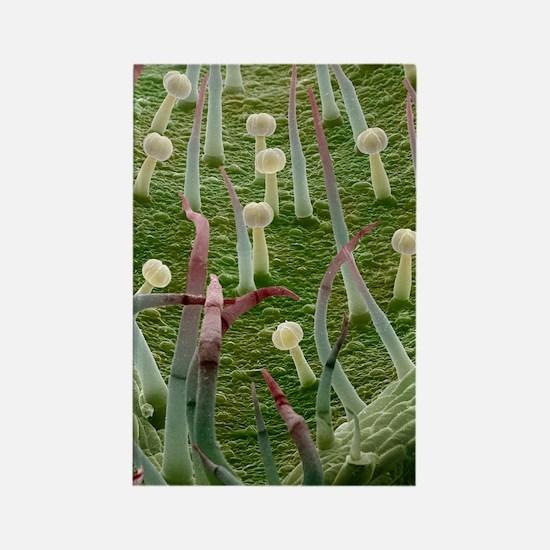 Potato leaf, SEM Rectangle Magnet