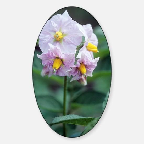 Potato (Solanum tuberosum 'Charlott Sticker (Oval)