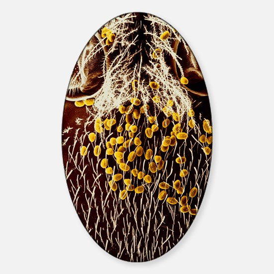 Pollen on head of honeybee Sticker (Oval)