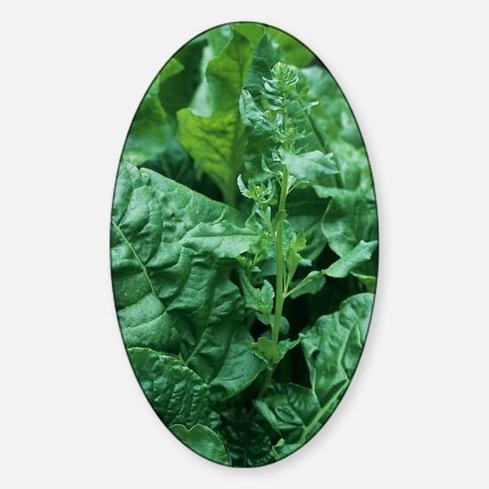 Perpetual spinach (Beta vulgaris) Sticker (Oval)