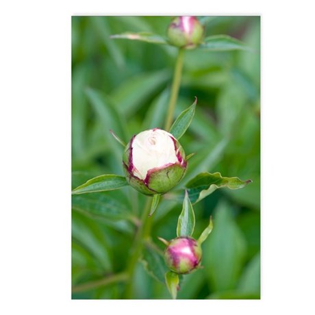 Paeonia lactiflora 'Shirl Postcards (Package of 8)
