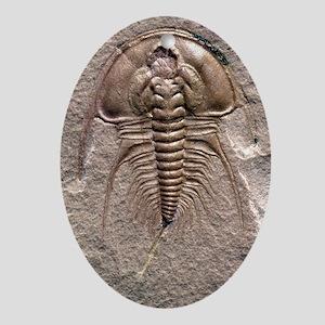 Olenellus gilberti trilobite fossil Oval Ornament