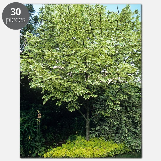 Norway maple (Acer platanoides) Puzzle