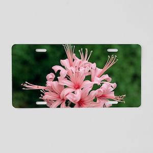 Nerine flowers (Nerine 'Ste Aluminum License Plate