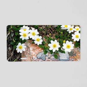 Mountain avens (Dryas octop Aluminum License Plate