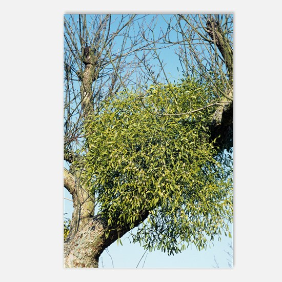 Mistletoe Postcards (Package of 8)