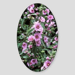 Mallow (Lavatera olbia 'Pink Frills Sticker (Oval)