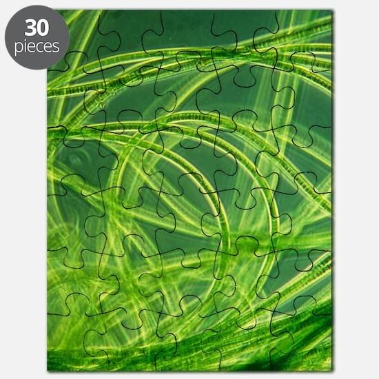 LM of filamentous blue-green algae Puzzle