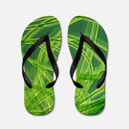 LM of filamentous blue-green algae Flip Flops