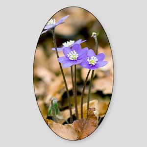 Liverleaf (Hepatica nobilis) Sticker (Oval)