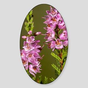 Ling (Calluna vulgaris) Sticker (Oval)