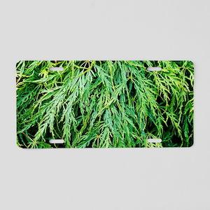 Japanese maple (Acer 'Virid Aluminum License Plate