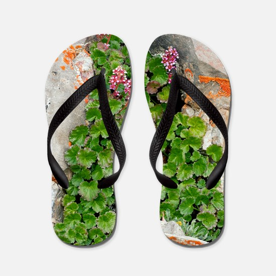 James' Saxifrage (Telesonix jamesii) Flip Flops