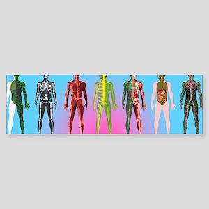 Human anatomy ,artwork Sticker (Bumper)