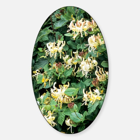 Honeysuckle (Lonicera periclymenum) Sticker (Oval)