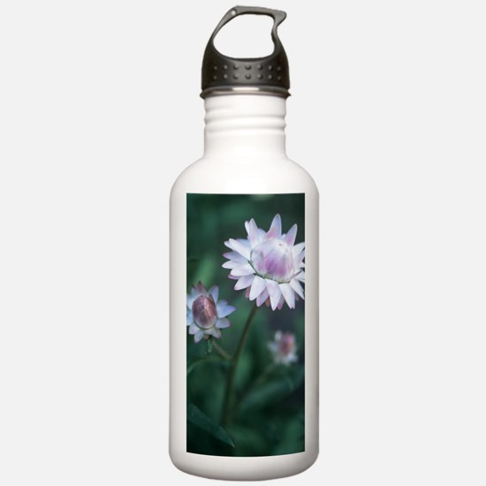 Helichrysum 'Large Flo Water Bottle