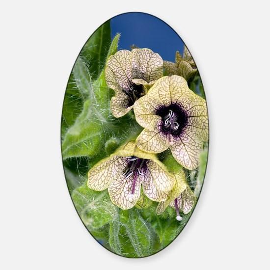 Henbane (Hyoscyamus niger) Sticker (Oval)