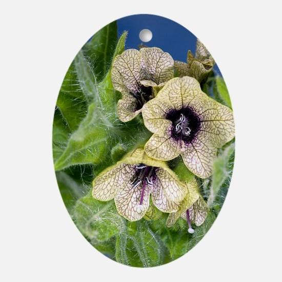 Henbane (Hyoscyamus niger) Oval Ornament