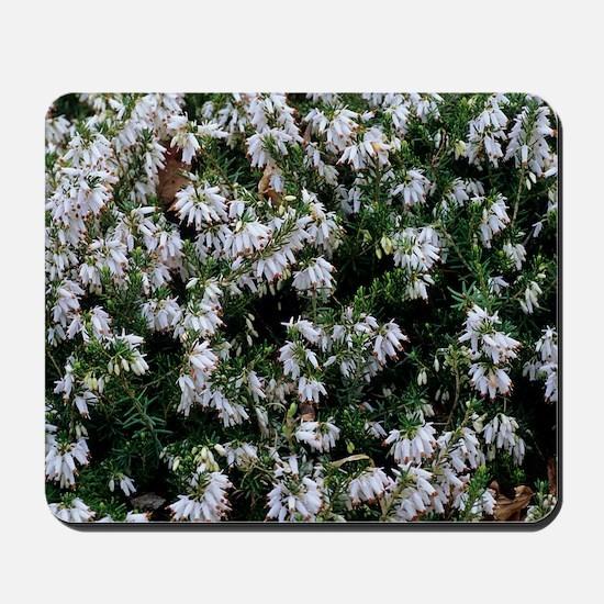 Heather 'Springwood White' flowers Mousepad