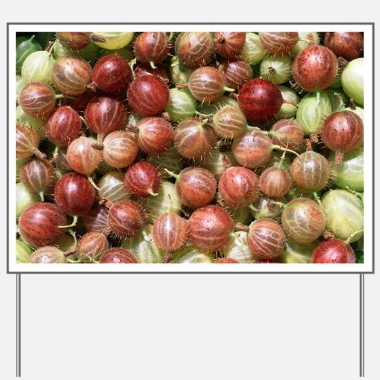 Harvested gooseberries Yard Sign