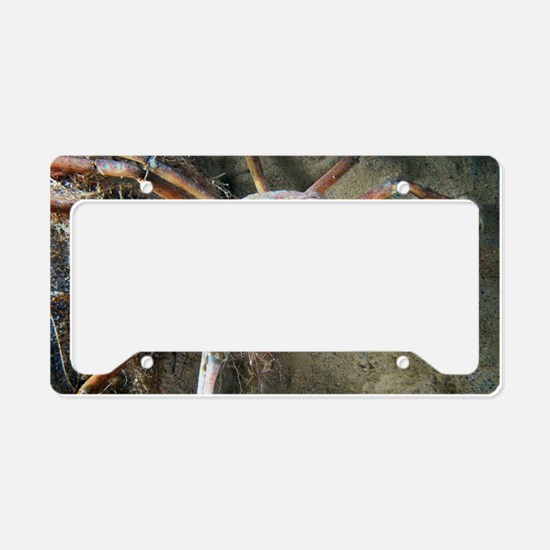 Great spider crab License Plate Holder