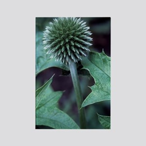 Globe thistle 'Veitch's Blue' Rectangle Magnet
