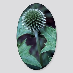 Globe thistle 'Veitch's Blue' Sticker (Oval)