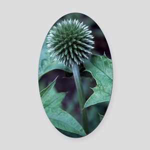 Globe thistle 'Veitch's Blue' Oval Car Magnet