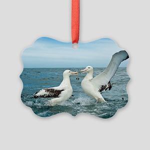 Gibson's wandering albatrosses Picture Ornament