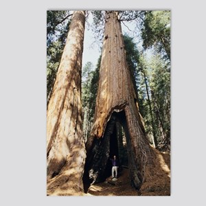 Giant sequoia Postcards (Package of 8)