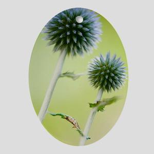 Globe Thistle (Echinops ritro) Oval Ornament