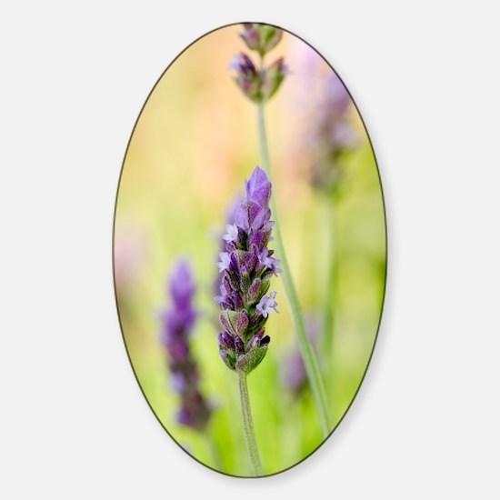 French lavender (Lavandula dentata) Sticker (Oval)