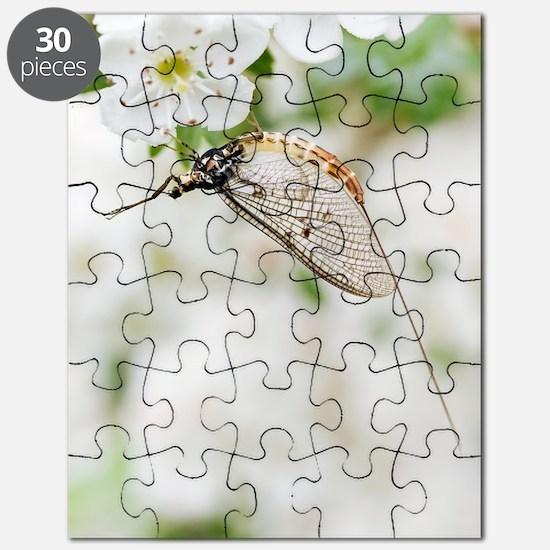 Female mayfly Puzzle