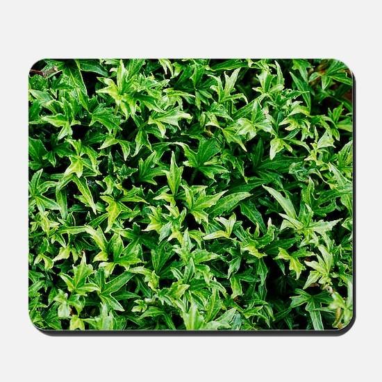 English ivy (Hedera helix 'Anita') Mousepad