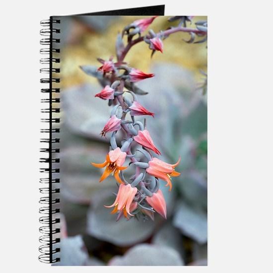 Echeveria 'Afterglow' flowers Journal
