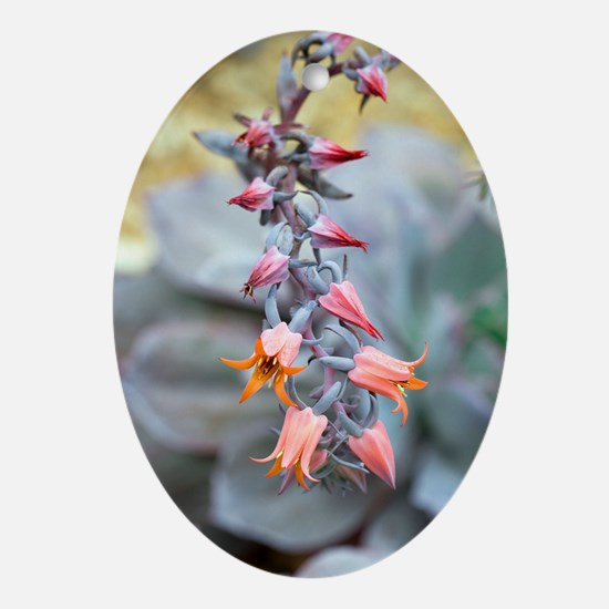 Echeveria 'Afterglow' flowers Oval Ornament